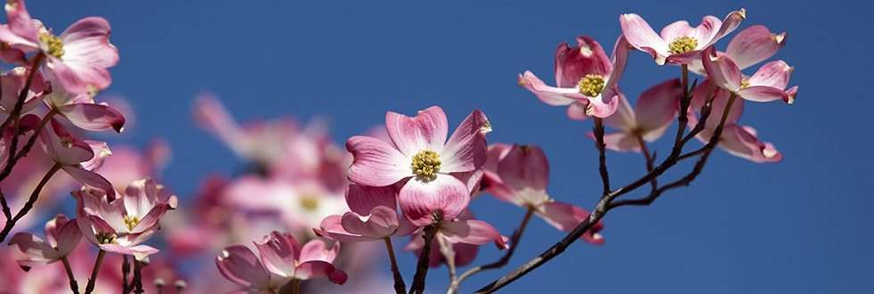 pink-dogwood-bush